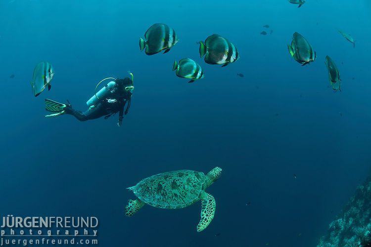 Green sea turtle (Chelonia mydas) with schooling batfish (Platax orbicularis) and diver.