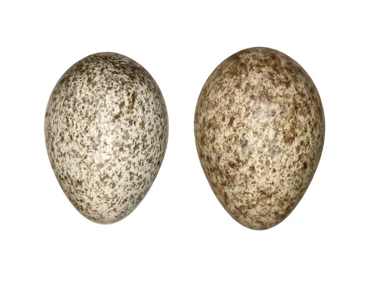 Rock Pipit - Anthus petrosus