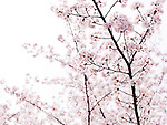 Artistic closeup of pink cherry blossom over bright white sky. Kyoto, Japan.