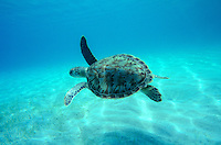 Hawksbill turtle in clear water<br /> St. John<br /> U.S. Virgin Islands