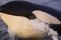 Close up portrait of porpoising killer whale ( orcinus orca ) Tysfjord, Arctic Norway
