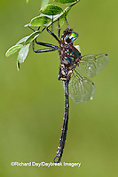 06556-00107 Clamp-tipped Emerald dragonfly (Somatochlora tenebrosa) male, Reynolds Co., MO