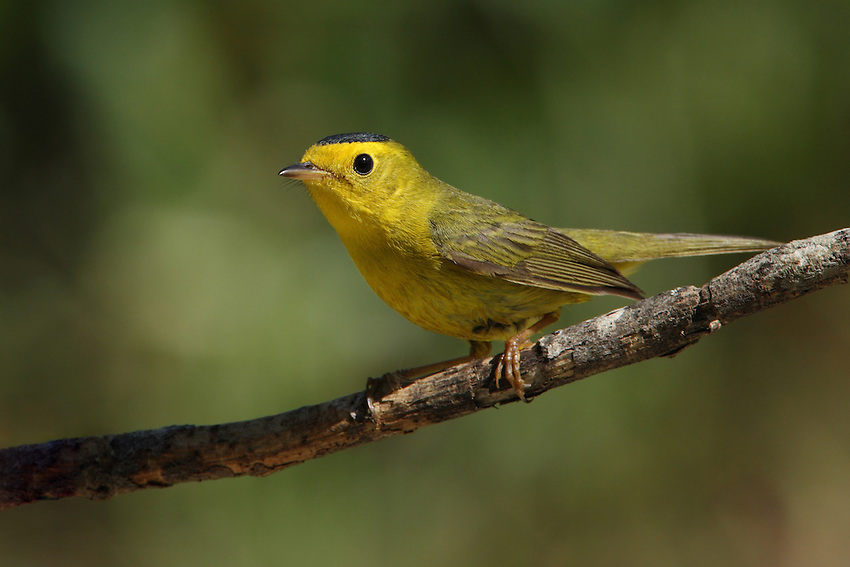 A warbler of willow thickets in the West and across Canada, the Wilson's Warbler is easily identified by its yellow underparts and black cap.