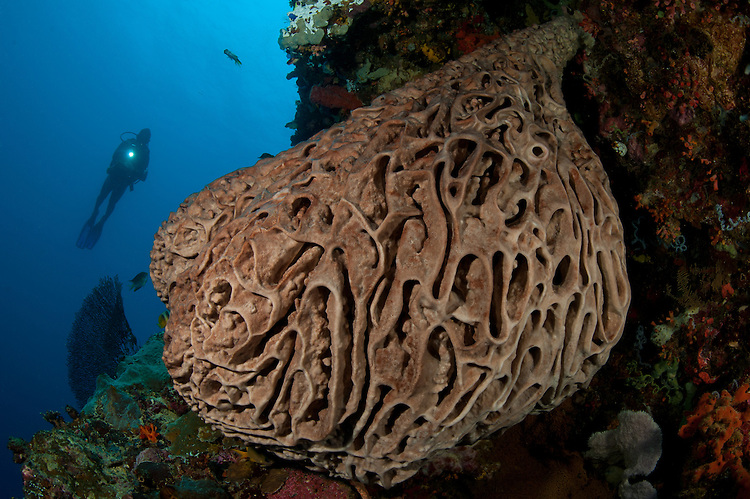 A diver looks on at the Salvador Dali sponge (Petrosia lignosa) which only grws with this intricate swirling surface pattern in Gorontalo waters, Sulawesi, Indonesia. These spomges grow to up to 3 metres in length.