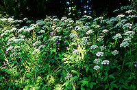 Giersch, Geißfuß, Geissfuss, Aegopodium podagraria, Bishop´s Weed, Grounde Elder