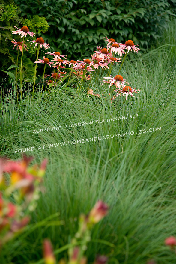 Close up detail of purple coneflower flowers on tall stalks peeking above massed ornamental grass with deep red day lilly blooms in the shallow foreground.