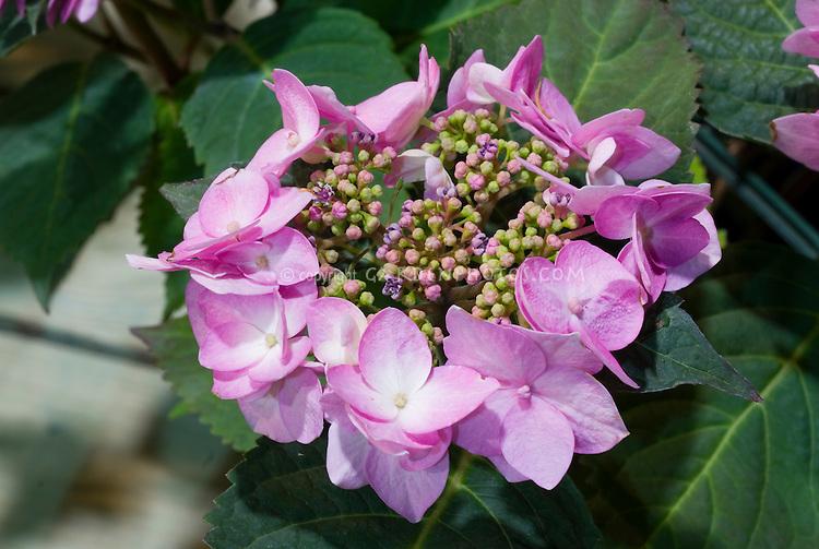 Hydrangea (Endless Summer Series) Twist-n-Shout pink flowers