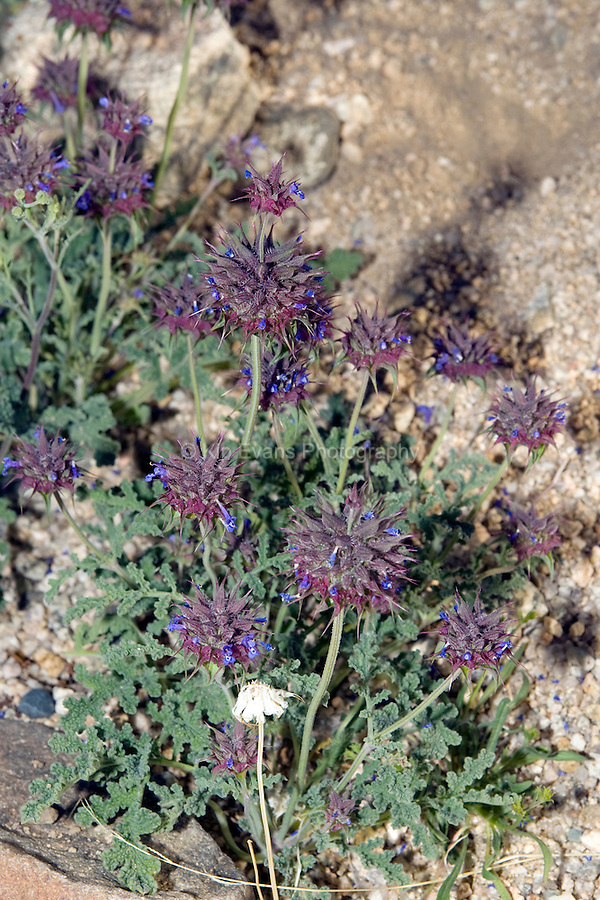 Chia (Salvia columbariae) in Joshua Tree National Park, California. For centuries Chia was of great economic importance to Native Americans of the Southwest and California coast. The parched seeds of the Chia were ground to make the staple flour, pinole (DesertUSA)..