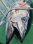 An enormous, rare fish which is one of the world's most expensive species has washed up on the English coast.  The 'remarkable' giant tuna is a delicacy in Japan and one once sold at a record £2.5 million at auction.<br /> <br /> The 180kg (28 stones 4lbs) tuna mysteriously made its way into Chichester Harbour, West Sussex, where it was found dead.  SEE OUR COPY FOR DETAILS.<br /> <br /> Please byline: Sussex IFCA/Solent News<br /> <br /> © Sussex IFCA/Solent News & Photo Agency<br /> UK +44 (0) 2380 458800