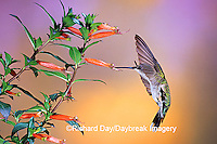 01162-090.13 Ruby-throated Hummingbird (Archilochus colubris) female on Cigar Plant (Cuphea ignea) Shelby Co.  IL