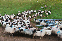 Europe/France/Aquitaine/64/Pyrénées-Atlantiques/Pays-Basque/Aussurucq: Jean-Paul Erdozainy Etchart , berger, ramène son troupeau de brebis en estive dans les paturages d'Ahusquy à son cayolar pour la traite [Autorisation : 2011-127] [Autorisation : 2011-128]