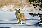 Wildlife of North America, Coyote canis latrans