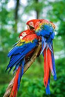 scarlet macaw, Ara macao, pair, preening