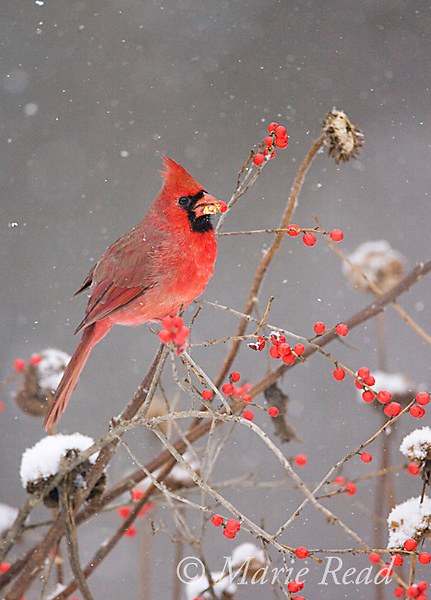 Northern Cardinal (Cardinalis cardinalis) feeding on winterberry (Ilex sp.)fruits in winter, New York, USA