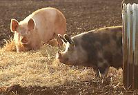 Landrace X Large White X Duroc sows.