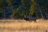 bugling, bull Elk, yellowstone national park