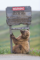 Grizzly bear scratches a roadside sign in Sable Pass, Denali National Park, Alaska