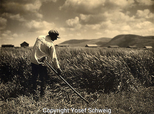 During the Shavuot, harvest festival, men traditionally go to the fields to reap with scythes. Taken in the Valley of Jezreel, 1920s.