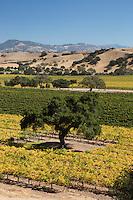 United States of America, California, Santa Barbara County, Near Los Olivos: Vineyards viewed from Firestone Winery, Santa Ynez Valley | Vereinigte Staaten von Amerika, Kalifornien, Santa Barbara County, bei Los Olivos: Firestone Weingut und Weinberge im Santa Ynez Valley