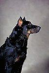 Beauceron<br />