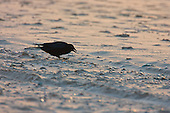 Carrion Crow (Corvus corone corone) tossing a seed on sandy beach, with a very cold winter wind whipping up the sand in the last sunlight of the day.