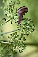 Europe/France/Poitou-Charentes/79/Deux-Sèvres/Marais Poitevin/Prin Deyrançon: Culture de l'Angèlique à la Ferme du Gué -  Fleur d'angélique et escargot petit gris ou lumas<br /> L'Angélique vraie, l'Archangélique ou l'Angélique officinale, Angelica archangelica, est une plante de la famille des Apiacées, cultivée comme plante condimentaire et médicinale pour ses pétioles, tiges et graines très aromatiques et stimulantes et pour sa racine utilisée en phytothérapie.