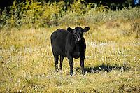 Cattle. Black angus<br /> Fort Walsh<br /> Saskatchewan<br /> Canada