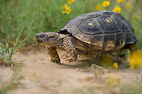 481150060 a wild texas tortoise gopherus berlandieri in a small patch of yellow wildflowers in the rio grande valley of south texas