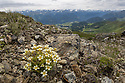 Mossy Saxifrage {Saxifraga bryoides} growing on mountainside at 2500 metres. Nordtirol, Austrian Alps. June.