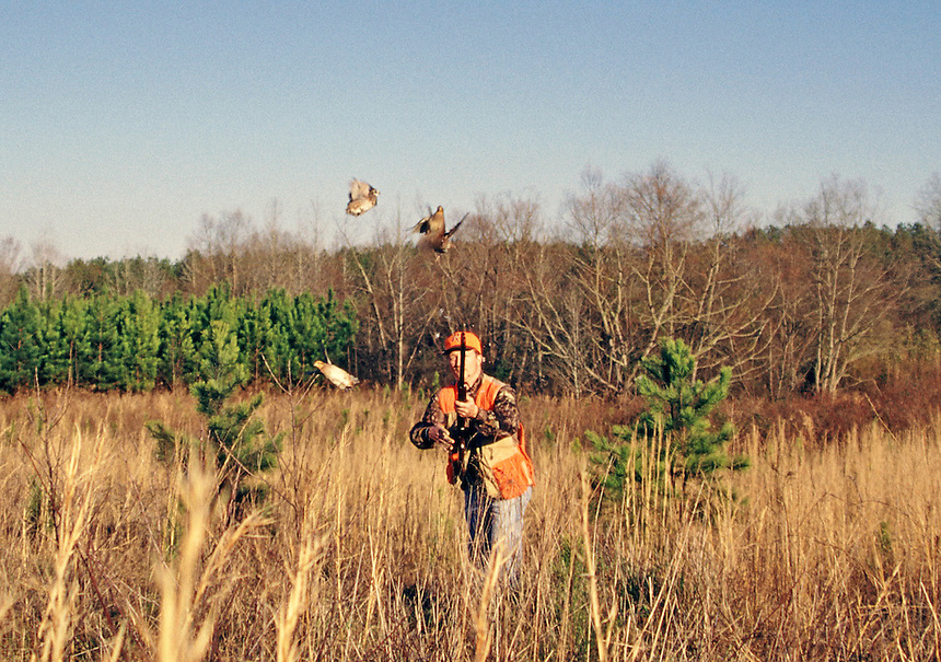 Quail hunter and flushing bobwhite, White Oak Plantation, Alabama