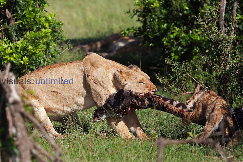 African Lion lioness dragging the carcass of a Giraffe she has just killed while her cub aged 3-6 months tries to feed (Panthera leo), Masai Mara, Kenya.