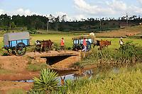 MADAGASCAR Morarano , SRI system of rice intensification developed by french jesuit Henri de Laulanie to increase yield and reduce water usage, farmer harvest rice and transport by bullock cart to village /MADAGASKAR Morarano , SRI System zur Intensivierung des Reisanbau , wurde in den 1980er Jahren auf Madagaskar vom franzoesischen Jesuit Henri de Laulanie zur Steigerung der Ertraege und Senkung des Wasserverbrauch entwickelt, Bauern transportieren den geernteten Reis ins Dorf