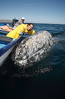 "pr7243-D. Gray Whale (Eschrichtius robustus). A ""friendly"". This curious adult whale spent one hour rubbing against boat and seeking out the gentle touch of this lucky woman (model released). Magdalena Bay, Baja, Mexico..Photo Copyright © Brandon Cole. All rights reserved worldwide.  www.brandoncole.com..This photo is NOT free. It is NOT in the public domain. This photo is a Copyrighted Work, registered with the US Copyright Office. .Rights to reproduction of photograph granted only upon payment in full of agreed upon licensing fee. Any use of this photo prior to such payment is an infringement of copyright and punishable by fines up to  $150,000 USD...Brandon Cole.MARINE PHOTOGRAPHY.http://www.brandoncole.com.email: brandoncole@msn.com.4917 N. Boeing Rd..Spokane Valley, WA  99206  USA.tel: 509-535-3489"