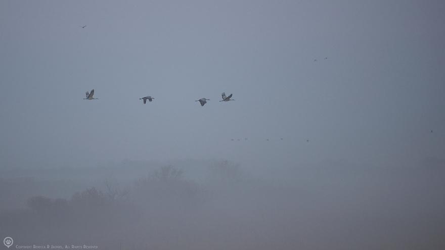 North America, United States, Nebraska, Wood River, Platte River. Sandhill Cranes flying through the fog