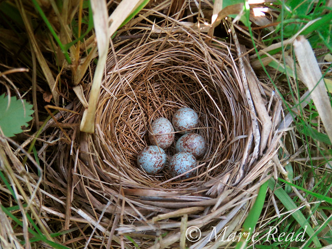 Song Sparrow (Melospiza melodia) nest with 5 eggs on the ground, Ithaca, New York, USA
