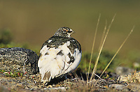Rock Ptarmigan, Lagopus mutus, male Spring plumage, Gednjehogda, Norway, Europe