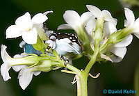 0305-0926  Froglet, Amazon Milk Frog (Marbled Tree Frog) on Bunch of White Flowers, Trachycephalus resinifictrix (formerly: Phrynohyas resinifictrix)  © David Kuhn/Dwight Kuhn Photography