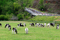 The peloton moves by a pasture during Stage 5 of the Ford Tour de Georgia. Tom Danielson, of the Discovery Channel Pro Cycling Team, won the 94.5-mile (152.1-km) stage from Blairsville to the top of Brasstown Bald, the highest point in the state.<br />