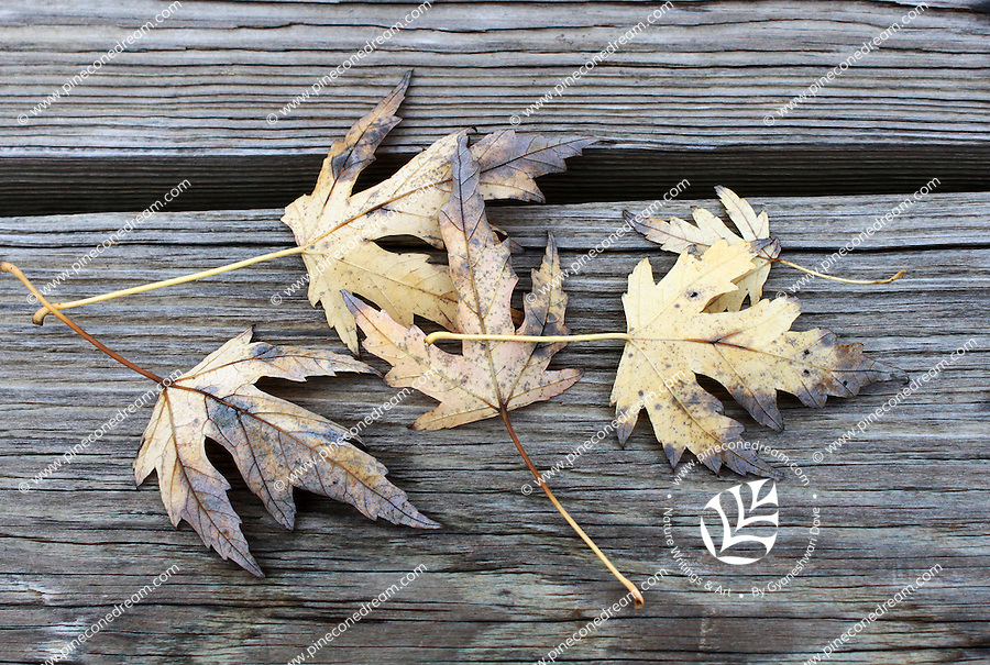 Stock photo: Fallen dry leaves in autumn lying on patio wooden floor.