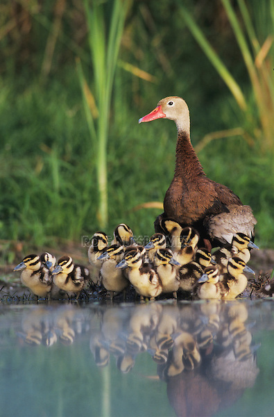 Black-bellied Whistling-Duck, Dendrocygna autumnalis,female with young, Lake Corpus Christi, Texas, USA