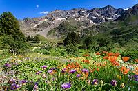 France, Hautes-Alpes (05), Villar-d'Arène, jardin alpin du Lautaret, au premier plan les plantes d'Asie centrale avec pavots rouge brique (Papaver latéritium), en fond le Combeynot