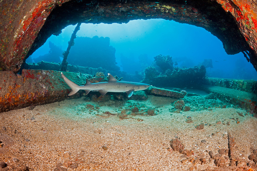A whitetip reef shark, Triaenodon obesus, swims by some of the remains of Mala Wharf which was destroyed by a storm, Maui,  Hawaii.