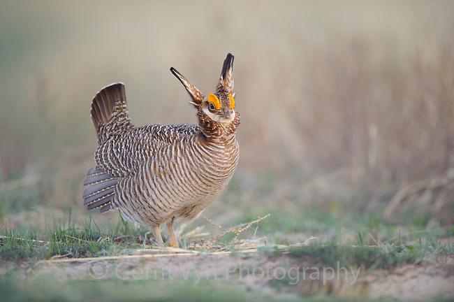 Adult male Lesser Prairie-chicken (Tympanachus pallidicinctus) on a lek. Cimarron National Grassland, Kansas. April.