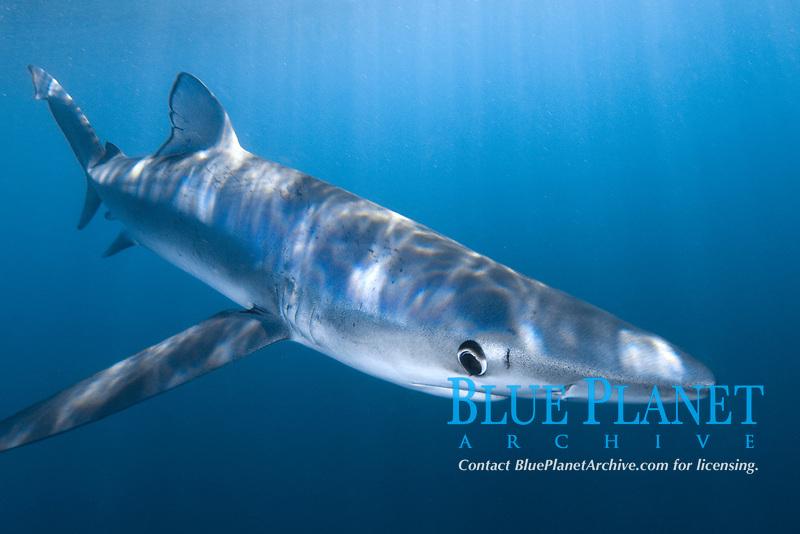 Blue shark Prionace glauca La Jolla, Southern California, USA, Pacific Ocean