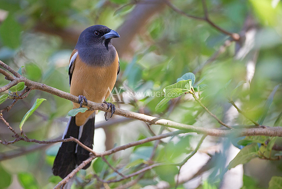 The Rufous treepie is one of a number of long-tailed avian species found in India.