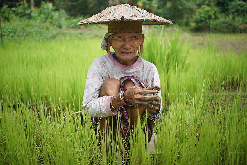 Penan elderly woman, Sigangsey, in rice paddy. The Penan native people are learning to live a sedentary lifestyle which includes living in wooden houses, farming and fishing. They were traditionally nomadic hunter-gatherers. These days they have become forcibly settled as their hunting grounds have been largely destroyed by logging concessions and palm-oil plantations.<br /> <br /> There are only a few, difficult to find, scarce communities of semi-nomadic Penan nowadays, who live like of those of old, hidden away deep in the tropical forest, hunter-gathering, wearing loin cloth &lsquo;chawats&rsquo;, hunting wild boar with blowpipes and poison arrows, and extracting sago-root flour, their staple carbohydrate, by hand.<br /> <br /> Borneo native peoples and their rainforest habitat revisited two decades later: 1989/1991 and 2012/2014/2015. <br /> <br /> Sarawak's primary rainforests have been systematically logged over decades, threatening the sustainable lifestyle of its indigenous peoples who relied on nomadic hunter-gathering and rotational slash &amp; burn cultivation of small areas of forest to survive. Now only a few areas of pristine rainforest remain; for the Dayaks and Penan this spells disaster, a rapidly disappearing way of life, forced re-settlement, many becoming wage-slaves. Large and medium size tree trunks have been sawn down and dragged out by bulldozers, leaving destruction in their midst, and for the most part a primary rainforest ecosystem beyond repair. Nowadays palm oil plantations and hydro-electric dam projects cover hundreds of thousands of hectares of what was the world's oldest rainforest ecosystem which had some of the highest rates of flora and fauna endemism, species found there and nowhere else on Earth, and this deforestation has done irreparable ecological damage to that region