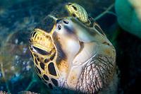Green Sea turtle, Chelonia mydas, portrait, Kona, Hawaii.