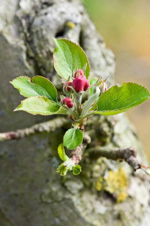 New-season foliage on Apple 'Pitmaston Pineapple', mid April.