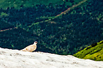 Winter colored Ptarmigan on a snow patch at Bird Ridge. Chugach Mountains in the background. Chugach State Park, Southcentral Alaska, Spring.