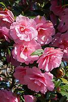 Camellia japonica 'Campbellii' dk pink spring blooming fragrant shrub